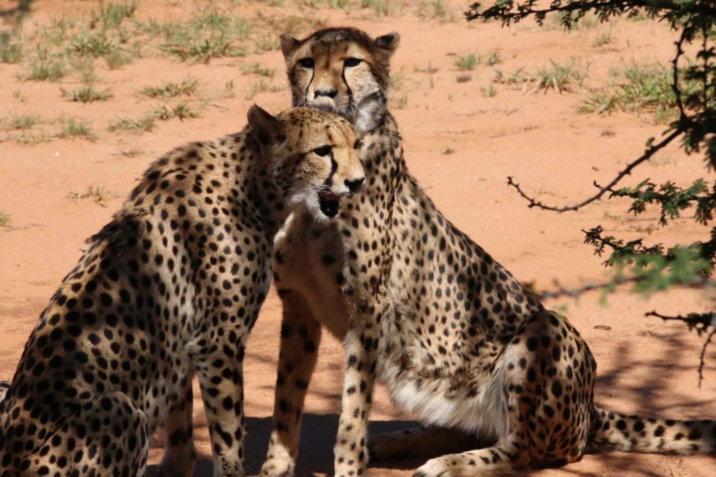 On vous emmène au centre de conservation des guépards