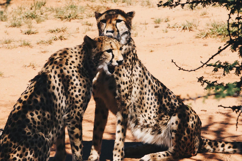 Le surprenant centre de conservation des guépards