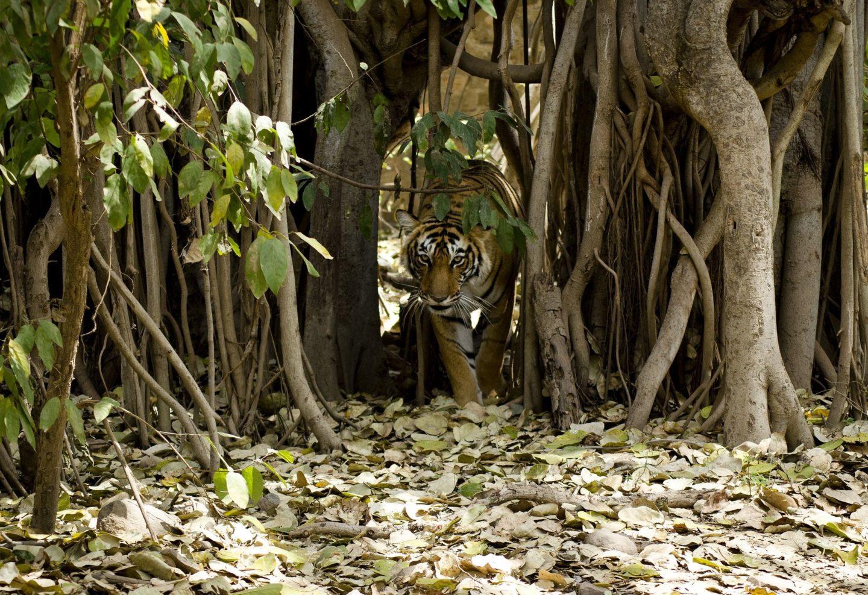 Ranthambhore | Où voir le tigre du Bengale
