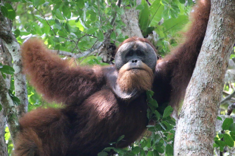 2 jours à la rencontre des Orangs Outans de Sumatra