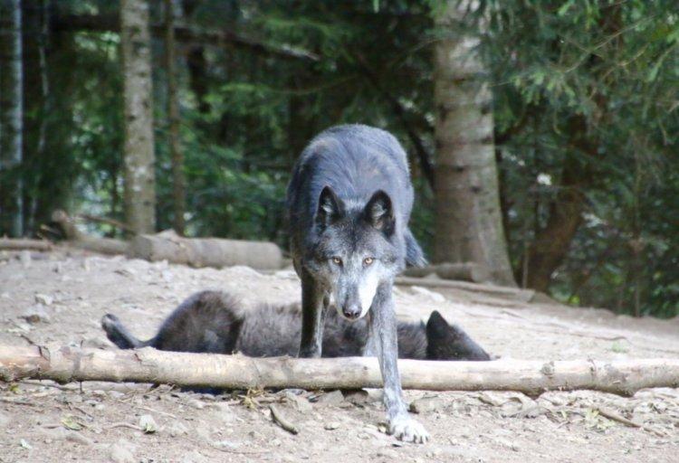 Ma rencontre inoubliable avec les loups du Mercantour