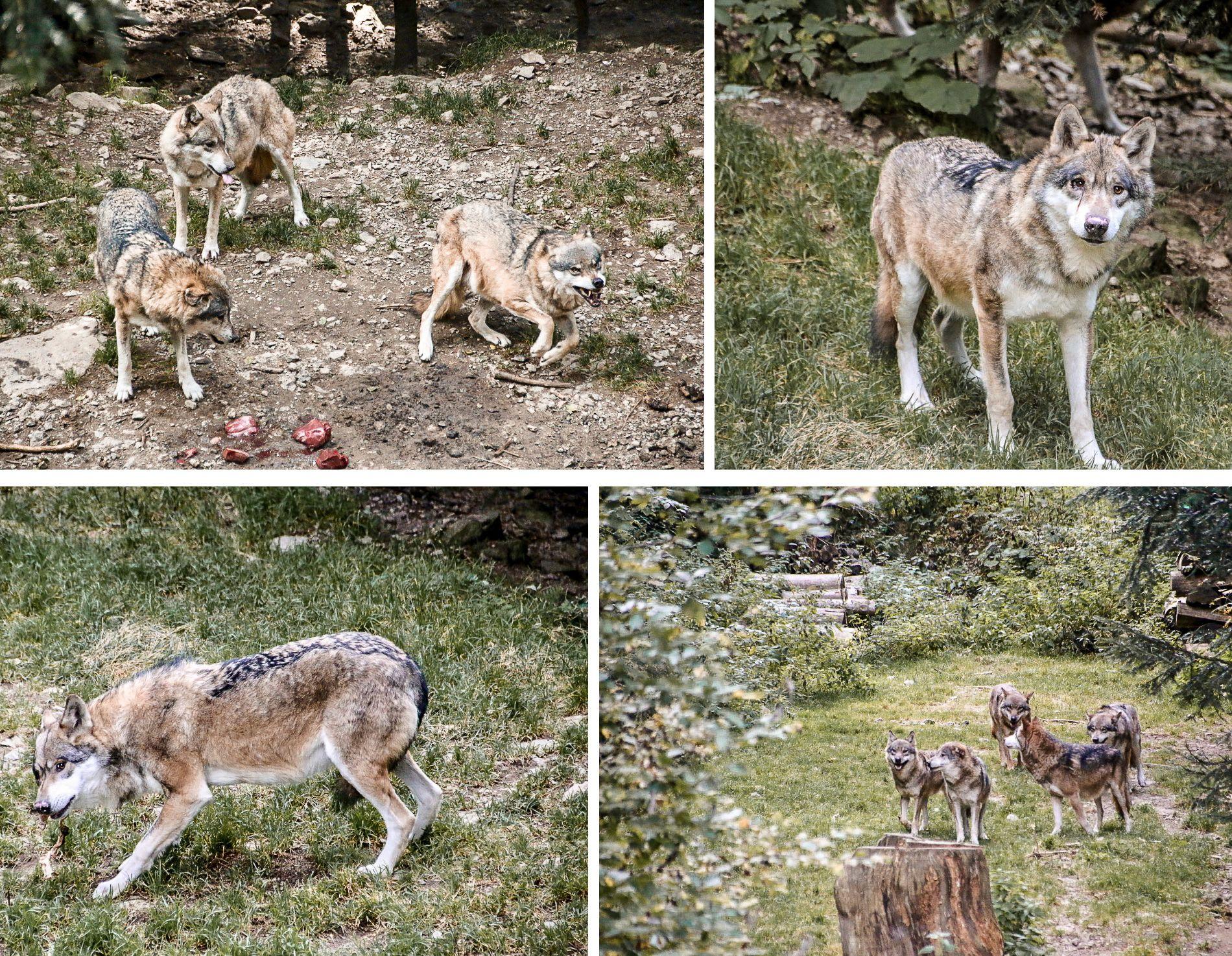 Parc alpha | conseils | voyage | animaux | loups | mademoiselle-voyage | alpes-maritimes