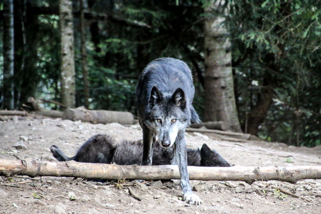 Mon inoubliable rencontre avec les loups du Mercantour