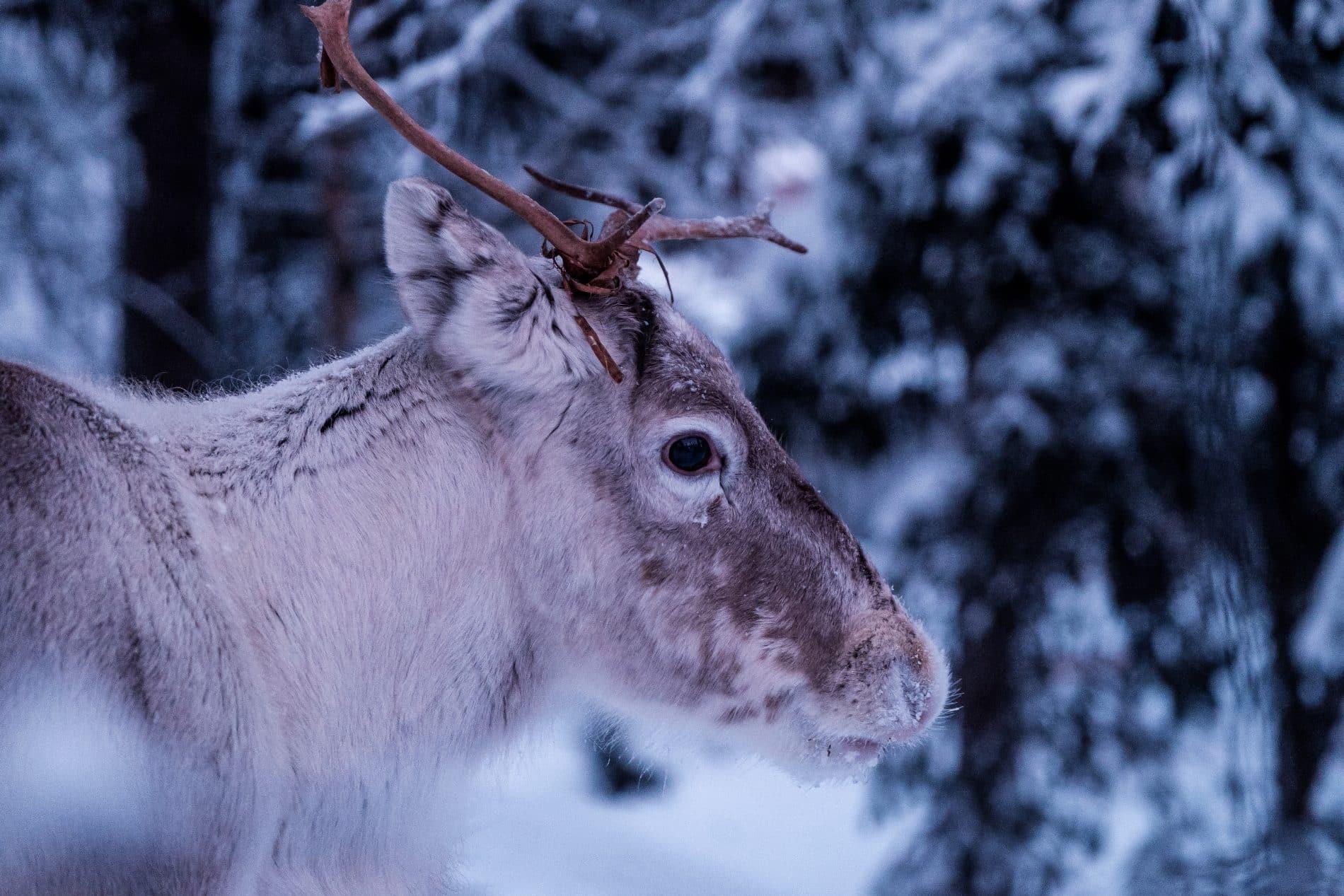 035014322453 Comment s habiller en Laponie en hiver   Je pense que c est la question que  l on se pose le plus, dès que l on veut réserver un voyage en Laponie.