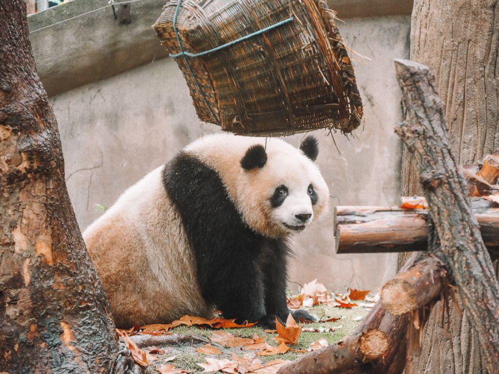 Pandi Panda, ce gros ourson de Chine: faut-il aller le voir à Chengdu ?