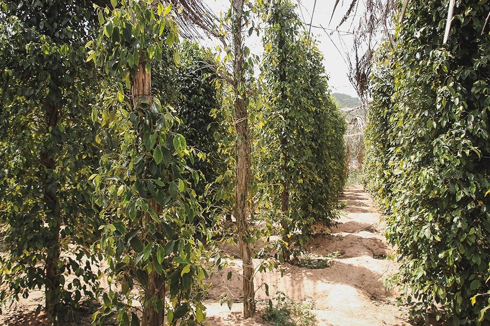 Cambodge | kampot | poivre