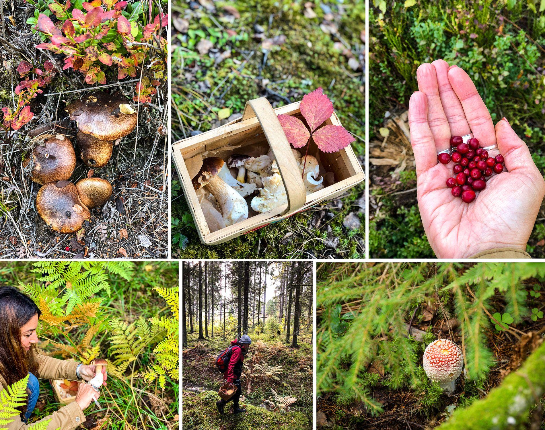 Finlande | automne | région grands lacs| champignons | baies